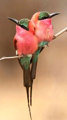 Beautiful Carmine bee eater Birds we could use them here,  I'm afraid of bees.