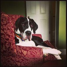Handsome Max-  mantle great dane