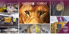 WeQare: Qatar Airways Cargo Returns Seven Rescued Lions To Their Natural Habitat For Free By helping the NGO Warriors of Wildlife (WOW), Qatar Airways Cargo kept its promiseto fly lions to their natural habitat for free. It took six months of hard work involvingno less than a dozen departments and over 50 employees to ensure a successful operation. On Thursday, April 29, the Kouga and Swinburne nature reserves in […] #BigCats, #Cat, #Cats, #Katze, #Katzen, #
