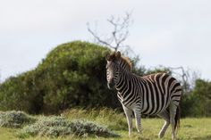 Zebra in the Wild by Charissa Lotter (de Scande) on Port Elizabeth, Park, Photos, Animals, Image, Pictures, Animales, Animaux, Parks