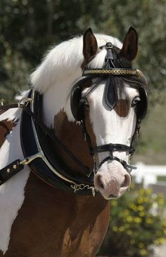 Paint driving horse with lovely blue eyes!