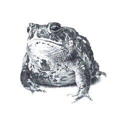 Giant Toad Drawing A series of drawings based