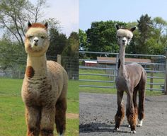 Alpaca Befor And After Shearing