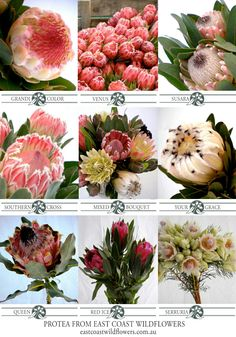 Nine of our most popular #protea varieties that we grow and wholesale in NSW #capeflora #wedding #bouquet #flowers #blushingbride #pinkice