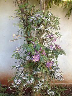 Como cultivar orquídea em árvore 7