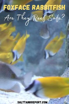 Find out if the Foxface Rabbitfish is reef safe here. These saltwater fish are great for beginners. Saltwater Tank, Saltwater Aquarium, Fishing For Beginners, Small Fish, Reef Aquarium, Soft Corals, Lps, Fish Tank, Aquarium