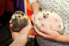 These hedgehogs were meeting for the first time. They seemed pretty chill about it.