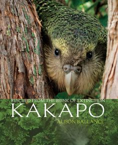 Kakapo, one of world's most threatened species. New Zealand conservation success story. Accounts of daily and seasonal routines of kakapo. Animals Of The World, Animals And Pets, Cute Animals, Crazy Bird, Big Bird, Flightless Parrot, Budgies, Parrots, Rare Birds