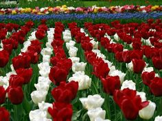 Tulips   It's a good thing we are not living in 17th century Holland, as the ...