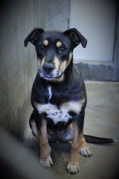 ~~dies at 7pm TONIGHT 06/17/14~~ She was only available yesterday and they are already trying to KILL HER!!!!  Pretty girl will be KILLED if not out before 7PM Thursday!!! Don't let her die a horrible death all alone!!! Rotti female less than a year old  Kennel A36 Available NOW ****$51 to adopt   Located at Odessa, Texas Animal Control. 432-368-3527.