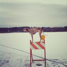 Maddie the Coonhound Standing on Things