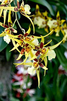 Caribbean Orchid Flower Show @NY Botanical Garden Photography by #Koonartdesign