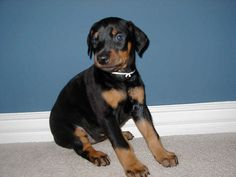 The Doberman Pinscher (alternatively spelled Dobermann in many countries) or simply Doberman, is a breed of domestic dog originally developed around 1890 by Karl Friedrich Louis Dobermann.