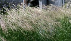 One of the most striking of the native bunch grasses. To 2' tall, the panicle-like inflorescence has a single awn that is strongly bent. Glimmers when backlit.  2 - 3' perennial.  Very drought-tolerant.  Often self-sows.