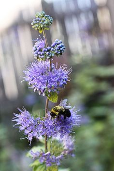 The Caryopteris and the Bee