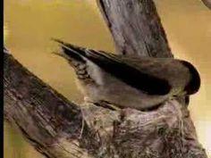 How birds camouflage their nests - David Attenborough  - BBC wildlife