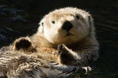 Closeup of A Captive Sea Otter - Tim Laman - Fine Art America