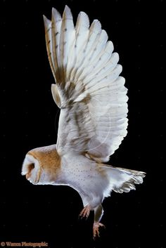 Barn Owl taking off