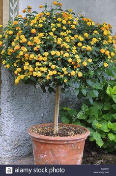 Lantana Tree, Lantana Camara, Arizona Gardening, Evergreen Trees, Bonsai Garden, Front Entrances, Topiary, Potted Plants, Container Gardening