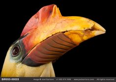 """EXPLORE THE MODERN ARK :  """"The goal is for people to look these animals in the eye and care while there's still time to save species,"""" photographer Joel Sartore says. A male wrinkled hornbill (Aceros corrugatus) at the Houston Zoo."""