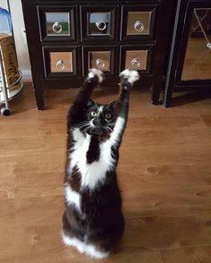 GoalKitty le chat qui lève les pattes en lair sans raison  2Tout2Rien