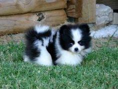 Pomski puppy (pomeranian/husky mix).