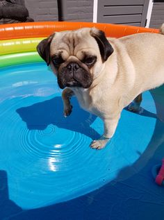 This is Boudha and he hates water Is your pug hates water also?