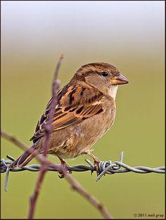 female sparrow photo: House Sparrow House_Sparrow_fem.jpg