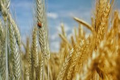 """Lammas, which takes its name from """"loaf-mass,"""" is the first harvest festival of the year, and celebrates the first wheat harvest. Other grains are al… Maurice Careme, Professional Lightroom Presets, Light Leak, Wheat Fields, Create Image, Don't Give Up, Superfoods, Flexibility, Gluten Free Foods"""