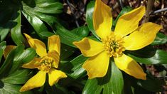 Eranthis hyemalis by Camilla Simonsen on 500px