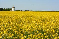 The picture of the rapeseed field in Estonia.  Tags: field, flower, Estonia, rape, windmill