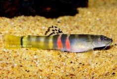 Tri-Band Sumo Loach (Schistura cf. balteata) www.fishkeeper.co.uk #tropicalfish