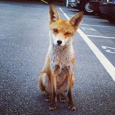 Red Fox by riproaringalex - Alex Turner