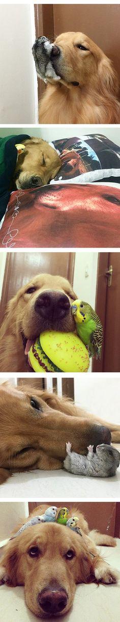 Golden Retriever, Hamster And Birds Are Best Friends