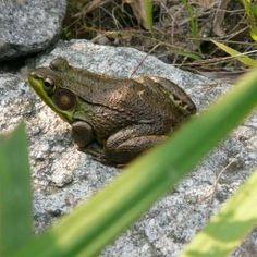 Frog Visiting the Rock Pond