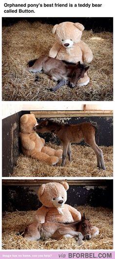 Orphaned pony's best friend is a teddy bear called Button - el mejor amigo del potro huérfano es un osito de peluche llamado Botón