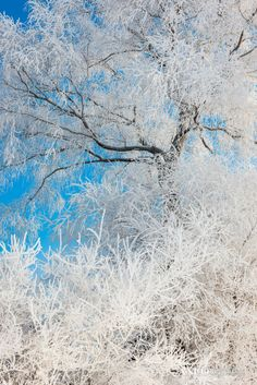 Snow Trees by Xu Jing