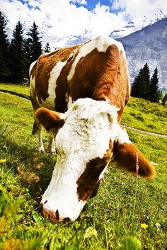 Cows Cows..I love cows!