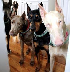 Doberman Colors, Doberman Love, Doberman Puppies, Pet Dogs, Dogs And Puppies, Doggies, Baby Animals, Cute Animals, Puppy Barking