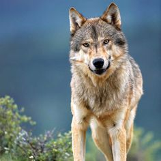 Wolves returned to Glacier and Yellowstone National Parks in the and and the resulting ecosystem-balancing effect of their presence cements their role as keystone species. Gothic Corset, Gothic Dress, Gothic Lolita, Companion Planting Guide, Emo Dresses, Tight Dresses, Keystone Species, Wolf Pictures, Victorian Goth