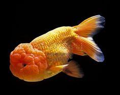 Lionhead Fish