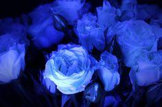 Black Light Roses  https://www.facebook.com/TheStunningRoses?fref=photo