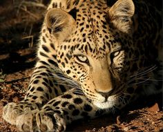 Leopard. exotic animal