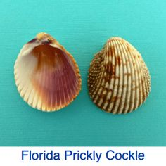 Florida Prickly Cockle ID Sanibel Island Shells, Captiva Island, Sea Shells, Seashell Art, Seashell Crafts, Beach Crafts, Seashell Identification, Seashell Projects, Fort Myers Beach