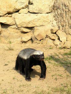 honey badger #honeybadger