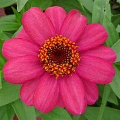 Zinnia Zahara Coral Rose flower.