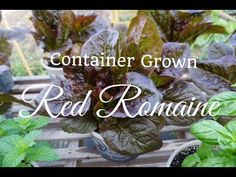 How to Grow Red Romaine Lettuce from Seed in Containers - YouTube
