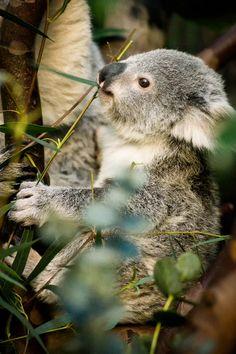 ** Koala