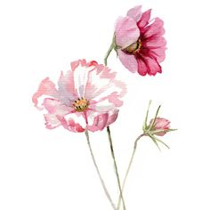 Cosmos flower WATERCOLOR botanic painting Giclee print ($19) ❤ liked on Polyvore featuring home, home decor, wall art, watercolor painting, watercolour painting, blossom painting, water color painting and giclee painting
