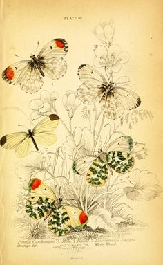 Vintage butterfly illustration -- LOADS of FREE Printables on this site!